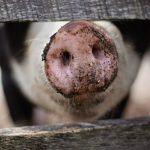 Den varme sommer forhindrer dyretransporter