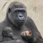 Så længe kan aber (og mennesker?) multitaske